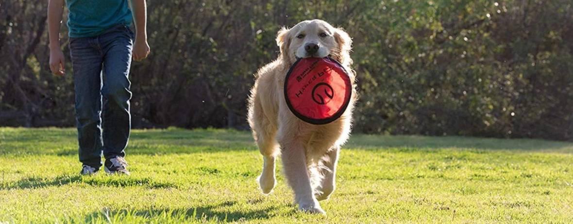 retriever met frisbee