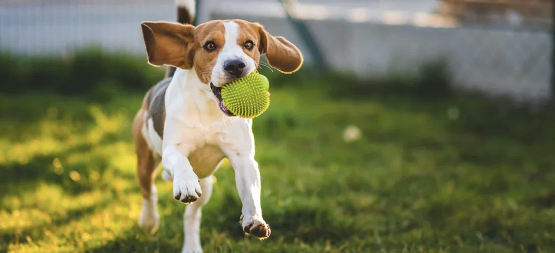Beste apporteer speelgoed hond
