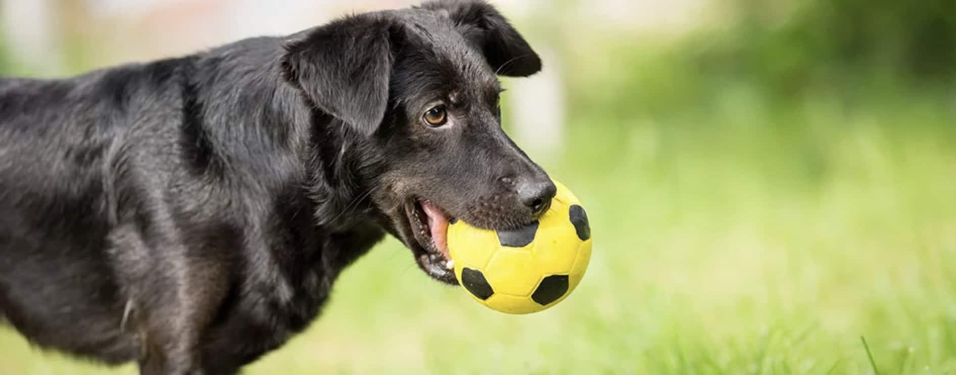 apporteer speelgoed hond