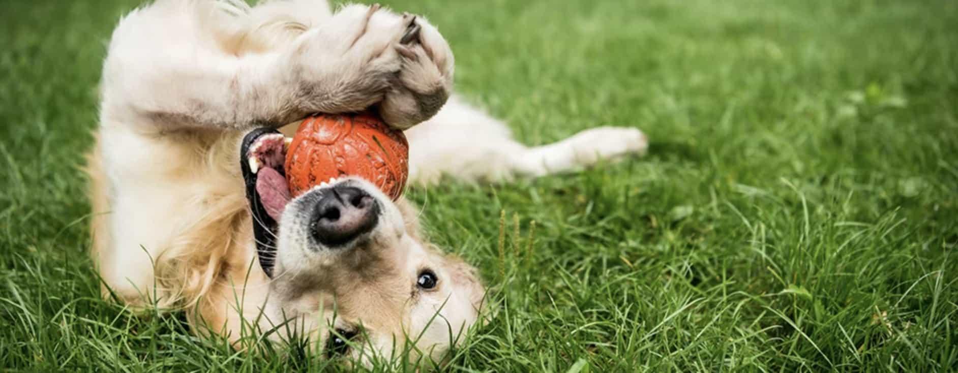 apporteer speelgoed honden