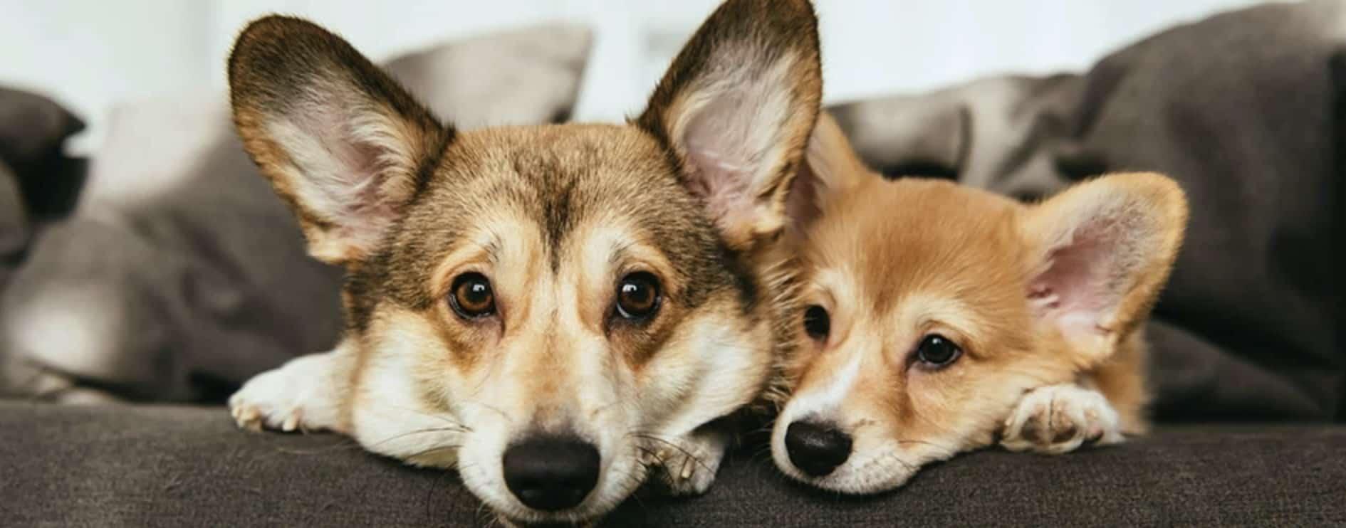 corgi-honden