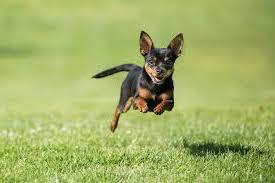 Populaire kleine hondenrassen
