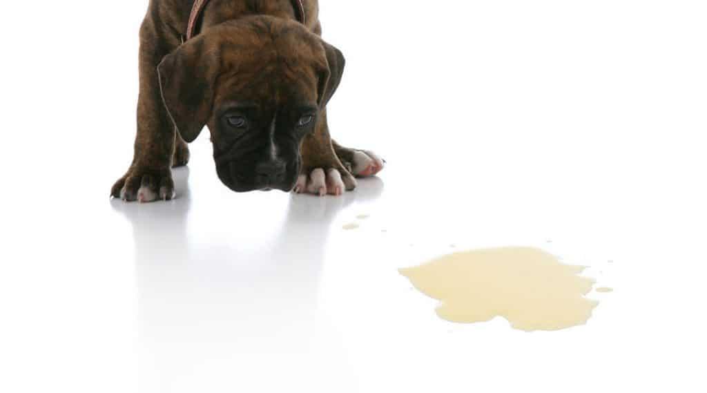 Puppy zindelijk maken vloer