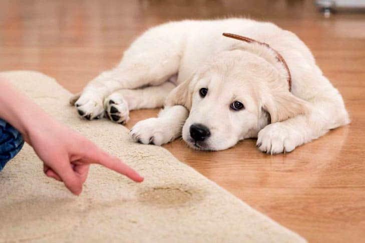 Puppy zindelijk maken; zo doe je dat